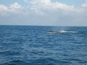 Whale-watching Gulf of Guinea (2)