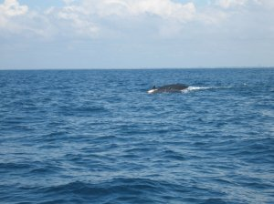 Whale-watching Gulf of Guinea (3)