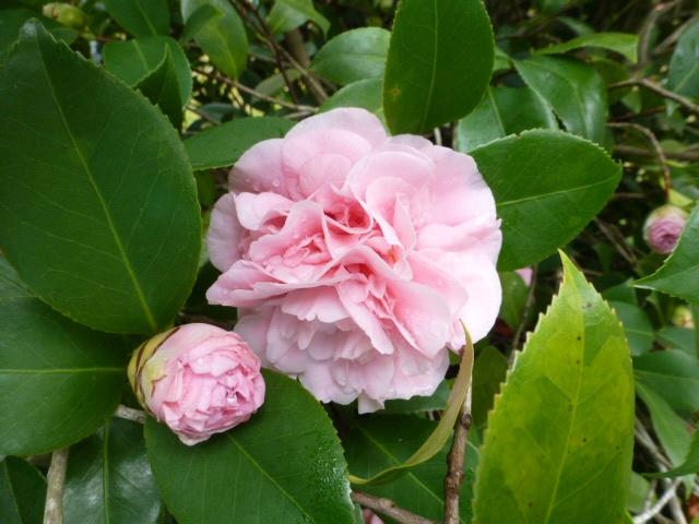 Camellia (5)