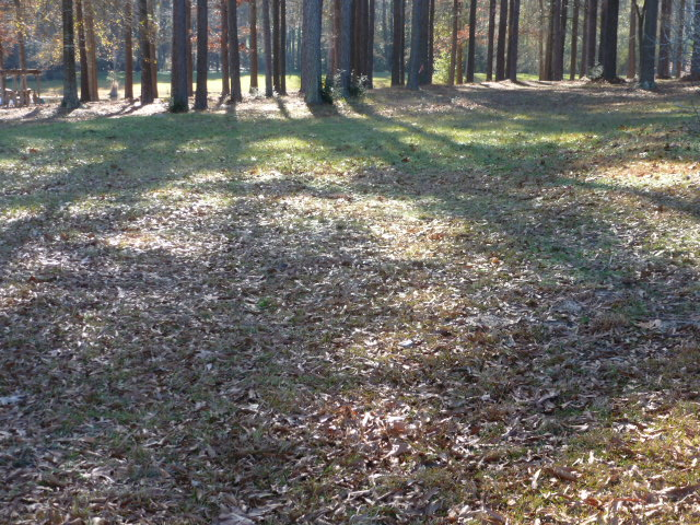 Raking Pine Straw (5)