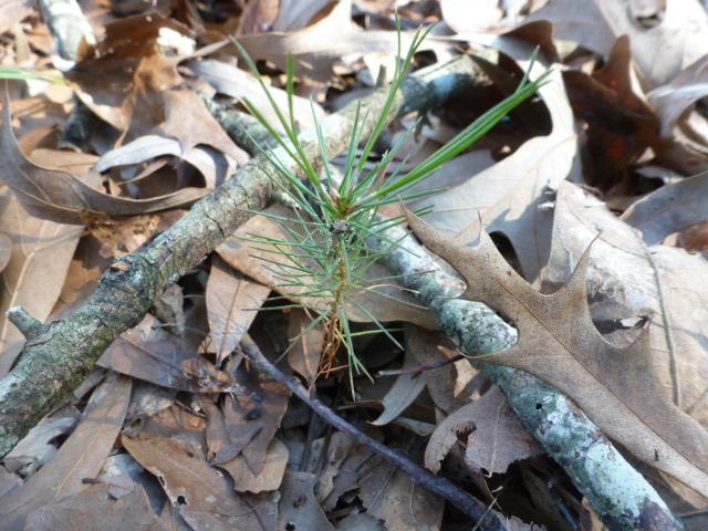 Raking Pine Straw (9)