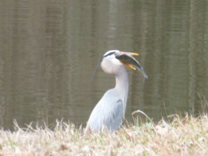 Blue Heron Eating a Fish (11)