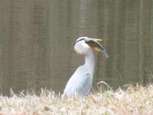 Blue Heron Eating a Fish (11)