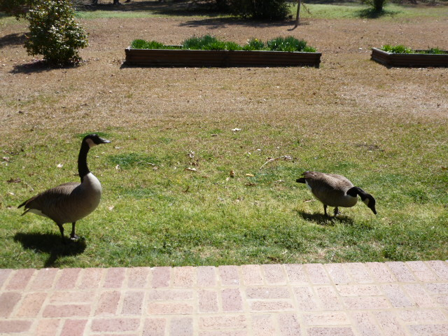 Canadian Geese by the Porch (5)