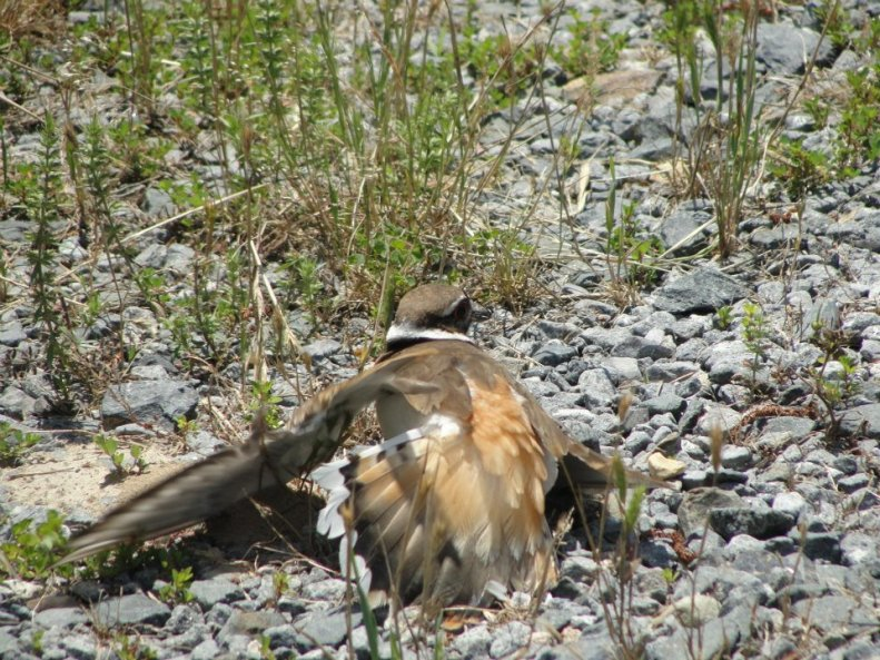 Killdeer Mama (3)