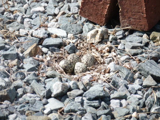 Killdeer Mama (5)