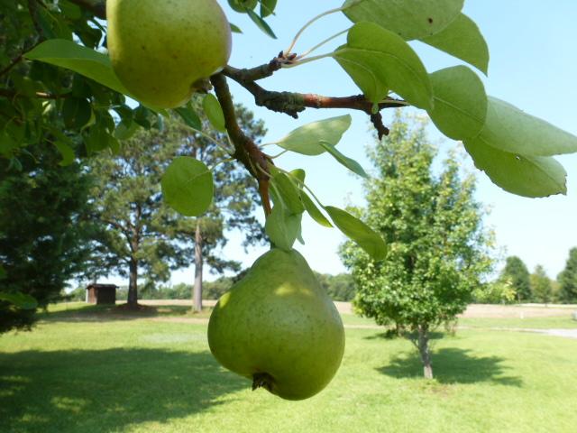 Pear Tree (5)