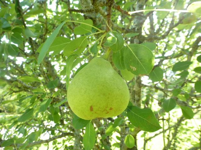Pear Tree (6)