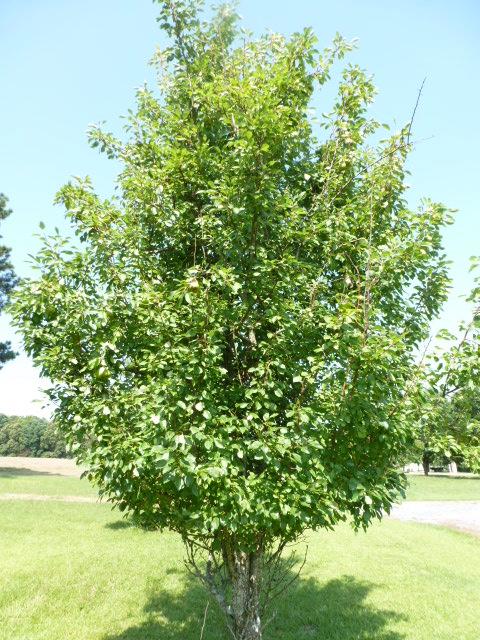 Pear Tree (7)