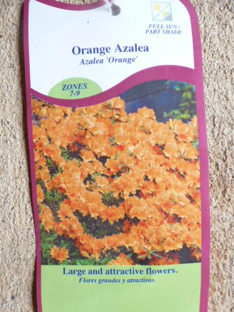 Orange Azalea for Susan