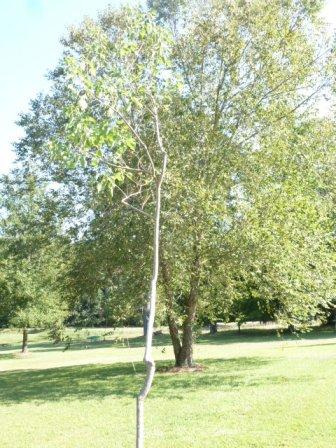 Tallow Tree (5)