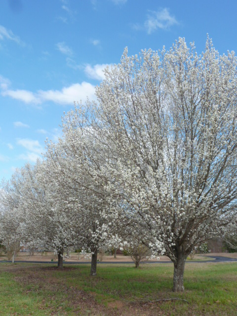 Pear Trees in Spring (4)