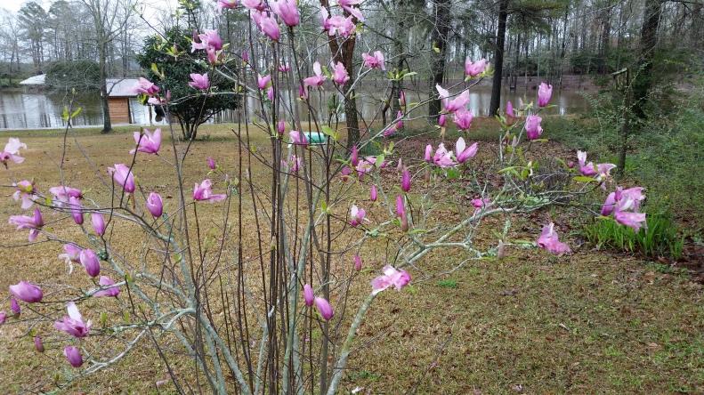 Tulip Tree (Japanese Magnolia)